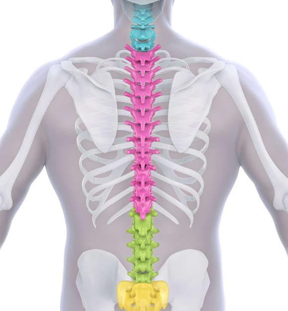 Human Male Spine Anatomy